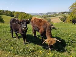 Auerochsen im Hirschhof