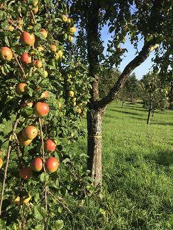 """Aktion """"Gelbes Band"""" - Städtische Obstbäume dürfen abgeerntet werden"""