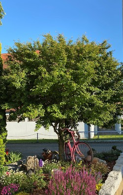 Frühjahrszeit ist Pflanzzeit - Bäume im Vorgarten verbessern Stadtklima und Stadtbild