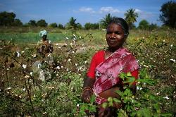 Baumwollpflueckerin in Indien