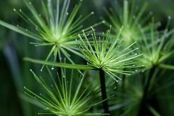 Auf diesem Bild ist eine Papyrus-Pflanze zu sehen.